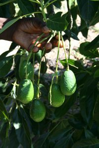 Mr. Nzonzo's first crop of avocados. (Photo: C. Hincks/CJI)