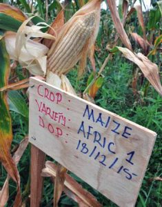 Organic maize at KATC is not plagued by the fall armyworm.